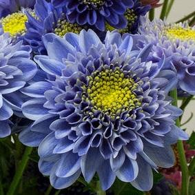 Truly blue chrysanthemum photo naonobu noda naro