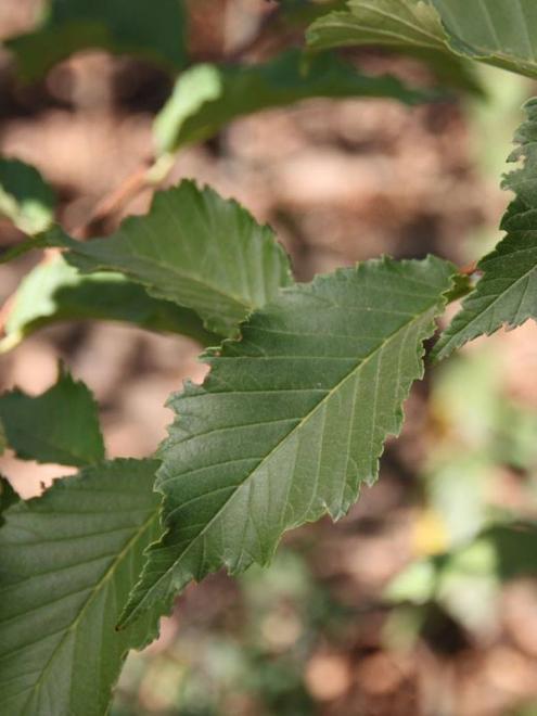 Ulmus davidiana greenstone 1