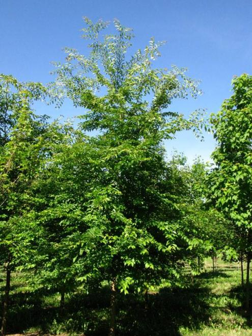 Ulmus davidiana greenstone