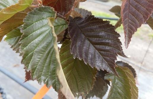 Ulmus x hollandica purpurascens u2019 ballarat photo mt william advanced tree nursery