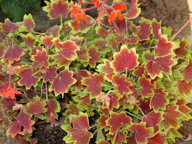 vancouver-centennial-geranium.jpg
