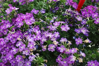 Verbena aztec magic purple magic