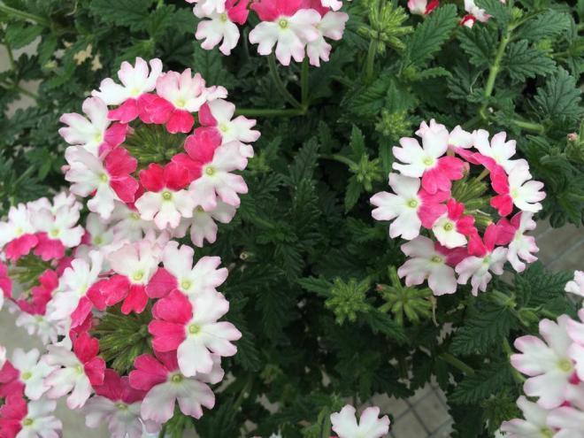 Verbena lanai twister pink
