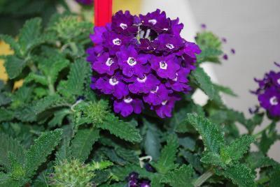 Verbena pops dark violet