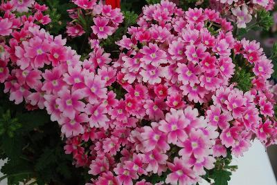 Verbena pops pink