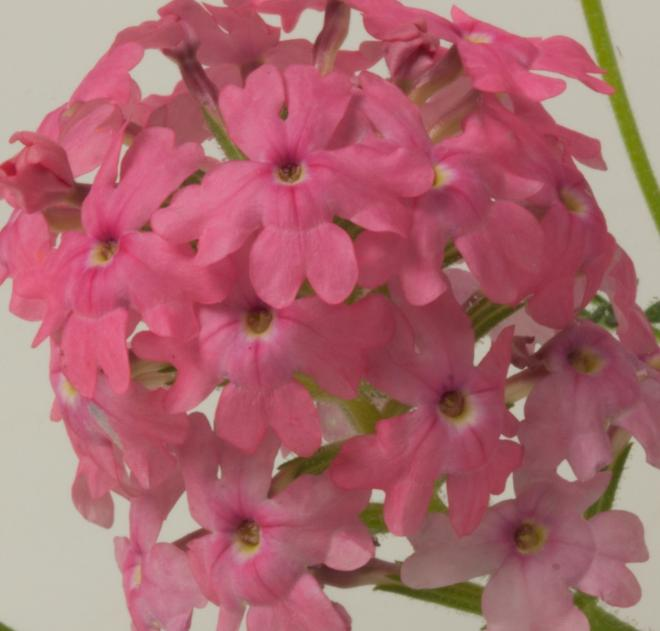 Verbena samira coral pink