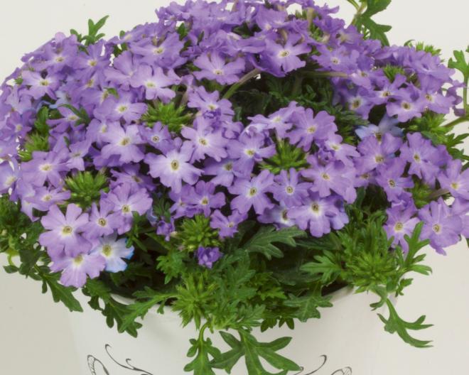 Verbena samira lavender