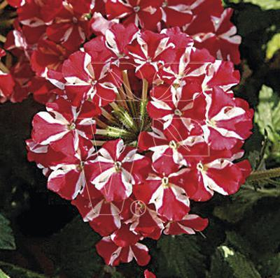 Verbena samira red star