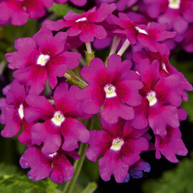 Verbena samirapurple eye