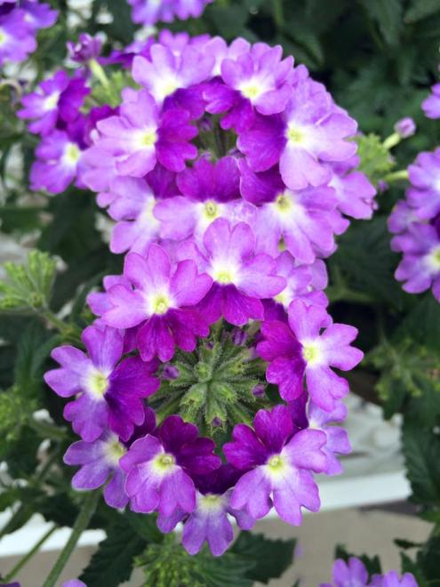 Verbena tiara blue lavender