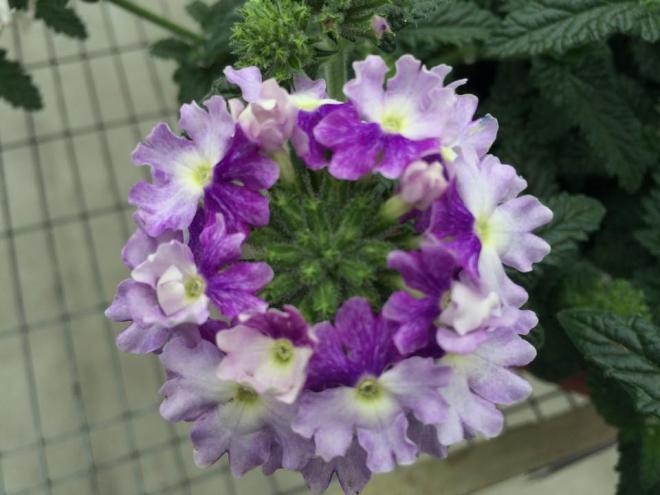Verbena tiara mickey blue lavender
