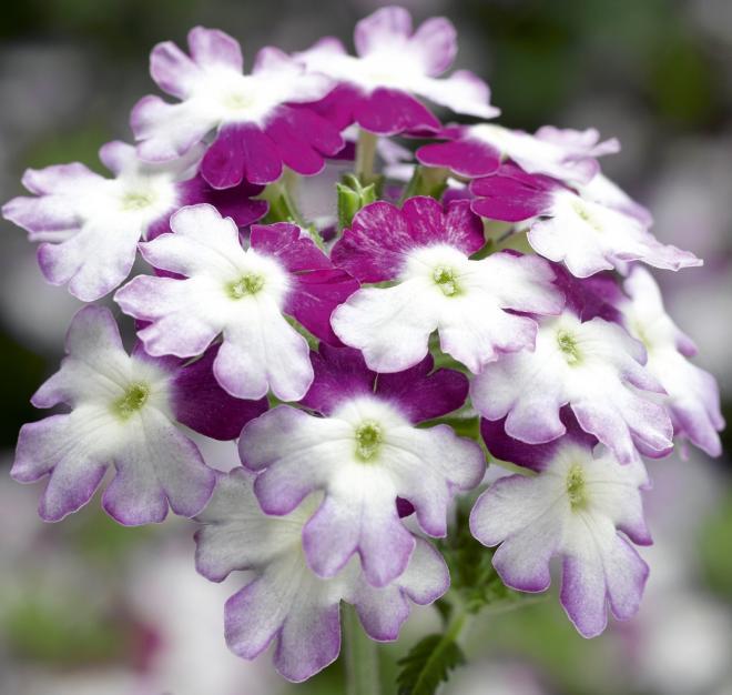 Verveine verino bicolor purple