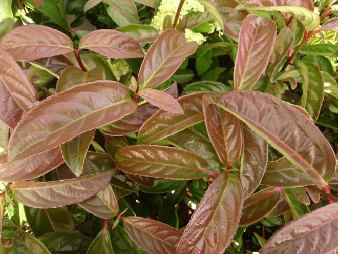 Viburnum bois marquis