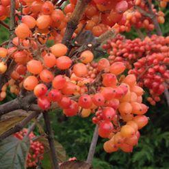 Viburnum dilatatum tandoori orange1jpg