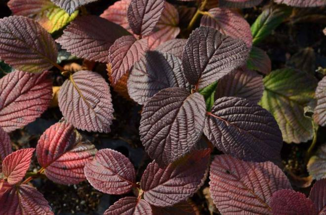Viburnum plicatum opening day 4