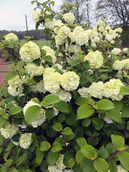Viburnum plicatum opening day