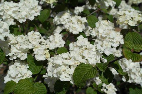 Viburnum plicatum tomentosum sharon kay