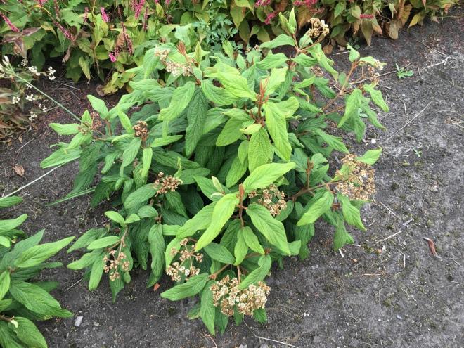 Viburnum rhytidophyllum little snowball1 jpg