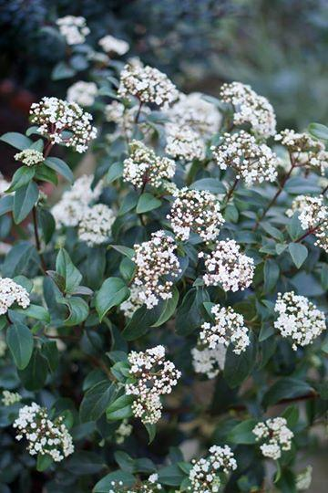 Viburnum tinus secret village