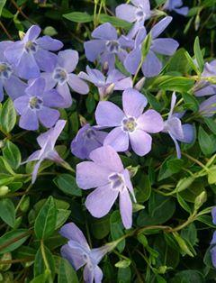 Vinca minor josefine