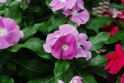 Vinca valiant orchid