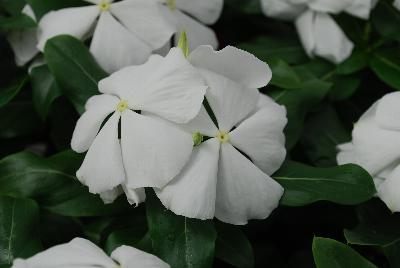 Vinca valiant pure white