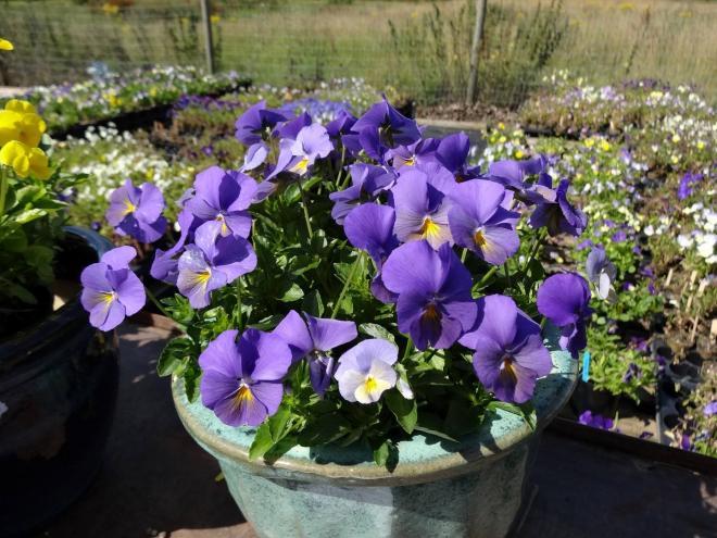Viola magnifi scent amy