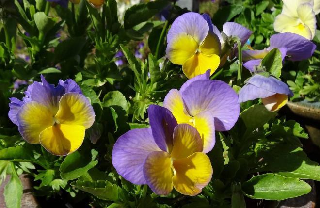Viola magnifi scent bonny