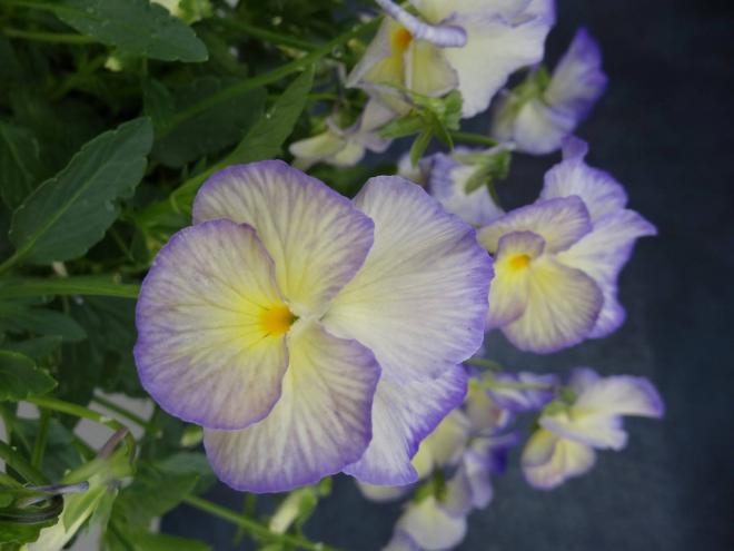 Viola magnifi scent sweetheart