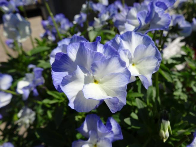 Viola magnifi scentblue sails
