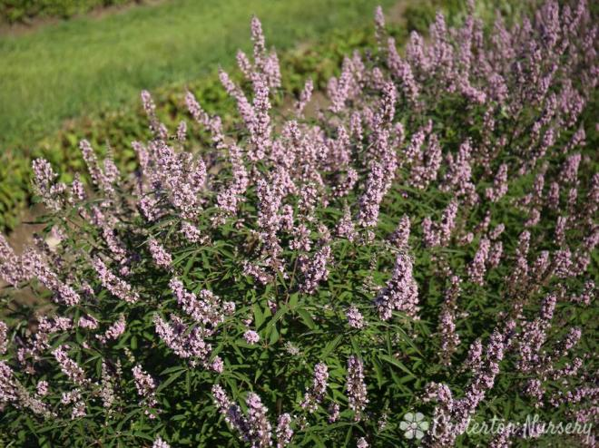 Vitex agnus castus pink pinnacle 2