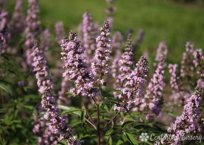 Vitex agnus castus pink pinnacle