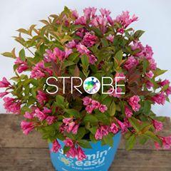 Weigela date night strobe