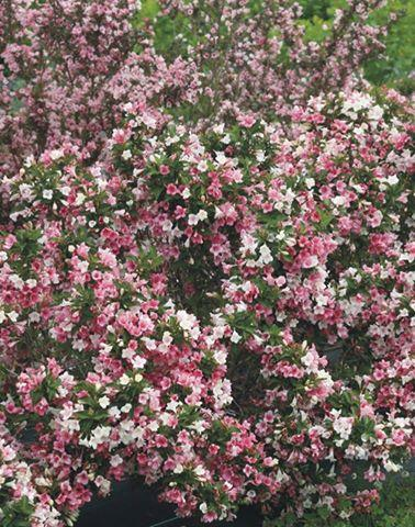 Weigela florida czechmark trilogy