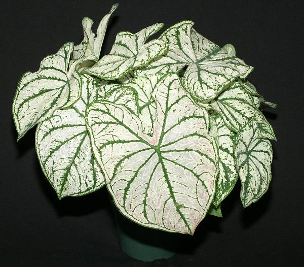 White christmas caladiums 1