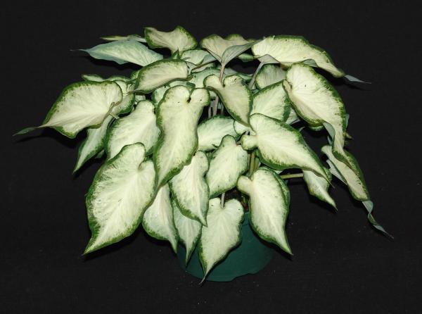 White pearl caladium