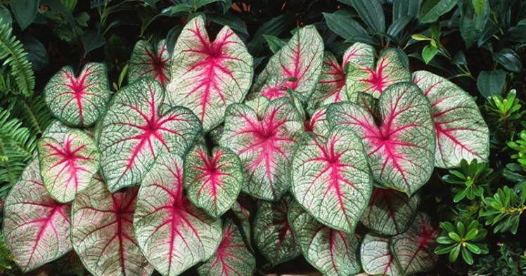 White queen caladium800