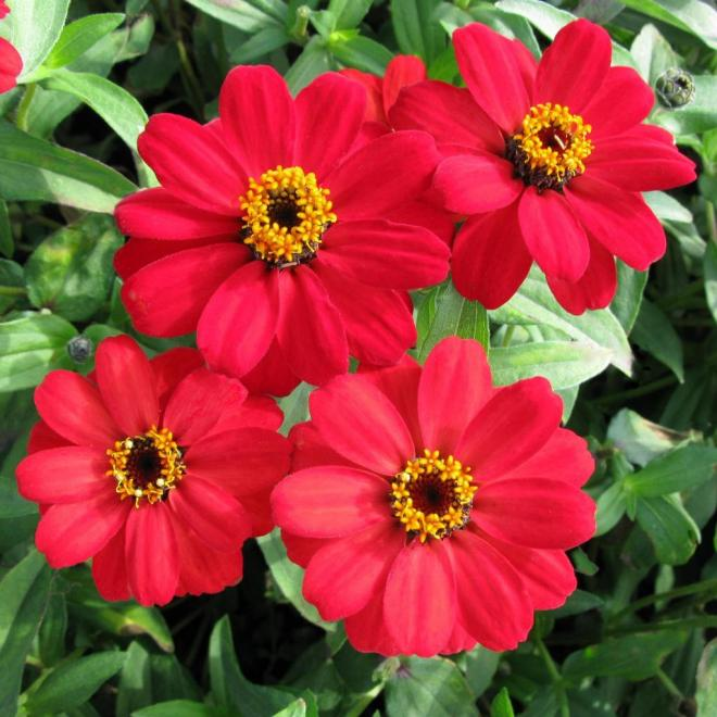 Zinnia x hybrida profusion red photo fleuroselect