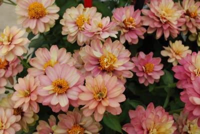 Zinnia zahara double salmon rose