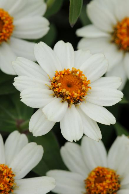 Zinnia zahara xl white